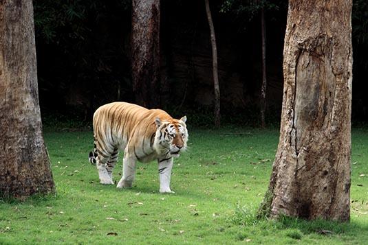 Tiger show dreamworld gold coast australia - Show me a picture of the tiger ...