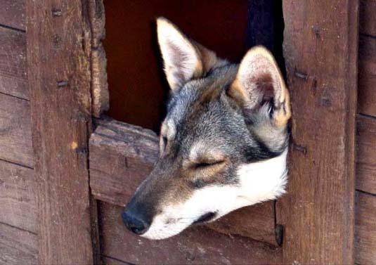 how to train a husky to come