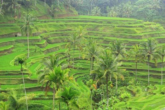Rice terrace ubud bali for Terrace ubud bali